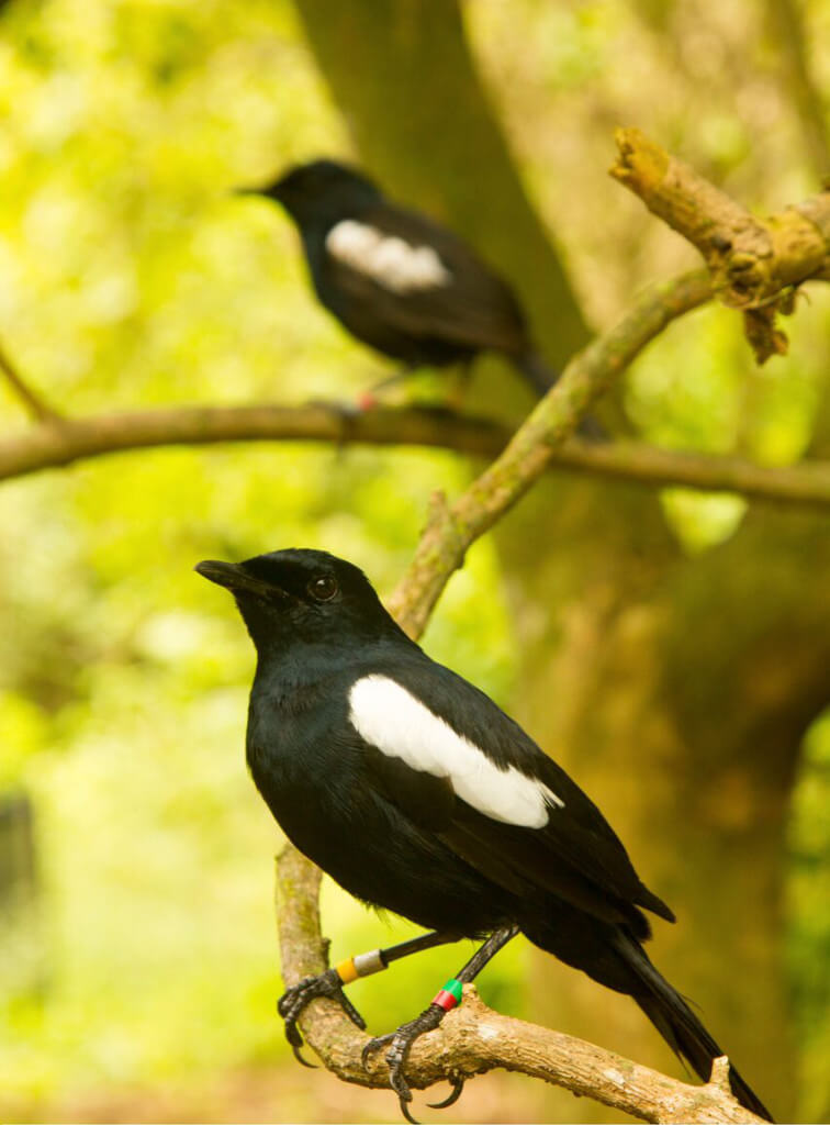 Seychelles magpie robins moved to a lower extinction risk category following conservation efforts, including reintroduction to five islands following mammal removal. Photo courtesty of James Russell