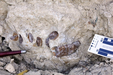 While the dark, circular variations in the rock may not look like much, they are the fossilized ribs of Bob, the remains of a sea cow NIU Professor Samonds discovered last summer in Madagascar.