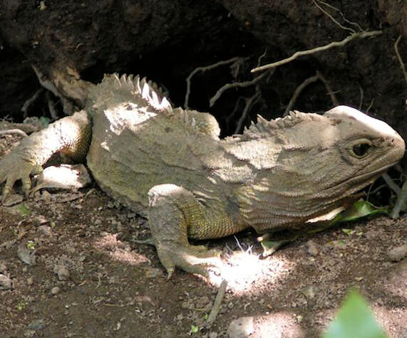 Sixteen populations of tuatara, which though like lizards are a distinct lineage, benefitted from invasive mammal removal in New Zealand. Photo courtesy of Holly Jones